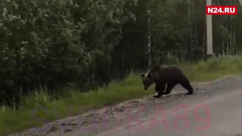 Мишка жительница Пангод преследовала медведя ради адреналина