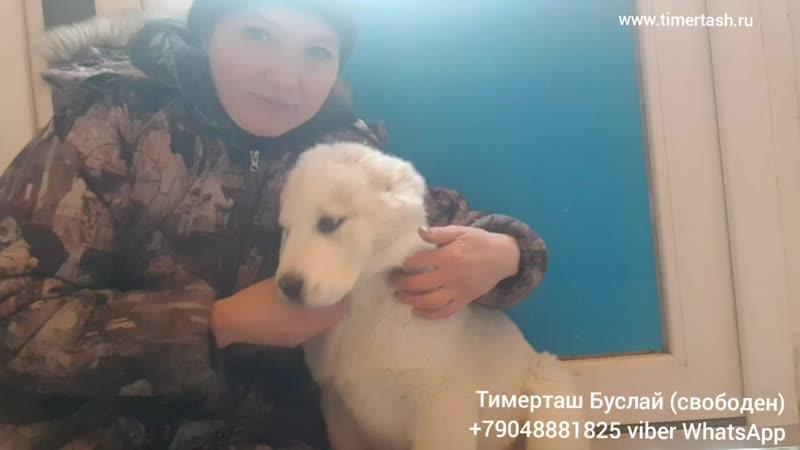ТИМЕРТАШ БУСЛАЙ (свободен) сын Вивы и Хазара 2 месяцаВопросы по 79048881825 viber whatsapp или на www.timertash.ru