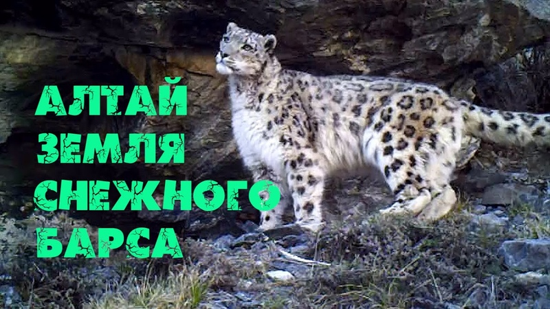АЛТАЙ - ЗЕМЛЯ СНЕЖНОГО БАРСА [Дикая Сибирь] ИРБИСФИЛЬМ. Altay - the land of snow leopard. Altai.