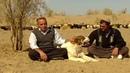 документальный фильм Туркменский Алабай - Волкодав САО Turkmen Itleri alabay Asian Work Dogs Alabai