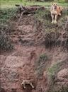 Спасение львенка