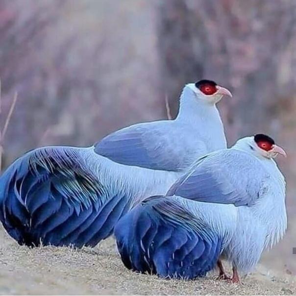 Красавцы синие фазаны