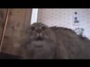 Поющий смешной кот. Реально смешно..mp4