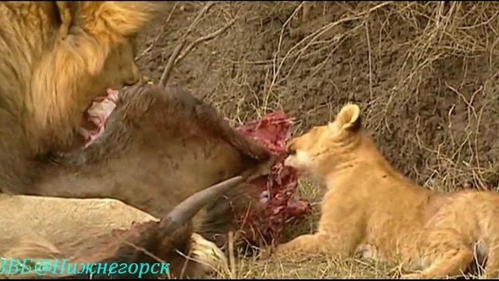 BBC Ребятам о зверятах Львёнок Лео Документальный 2004