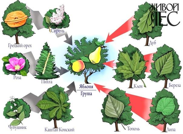 Аллелопатия: миф или реальность Для начала напомним определение: аллелопатия это взаимное влияние растений через изменение среды в результате выделения в нее продуктов жизнедеятельности, летучих