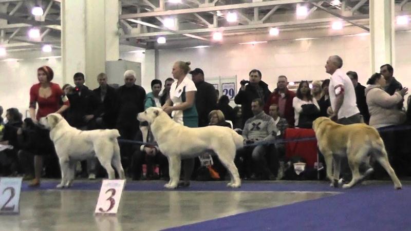 Выставка собак Евразия 2015 1 день Ринг среднеазиатских овчарок