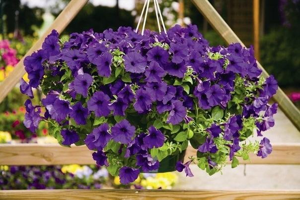 А вот и секреты обильного цветения петуний Практика выращивания петуний вывела такую формулу: большая емкость , регулярные подкормки достаточный полив , удаление отцветших цветков. * Большая