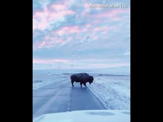 Бизон пересекает дорогу в штате Юта