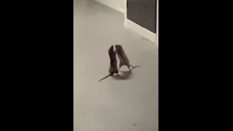 Крысиный бой за территорию кот в шоке
