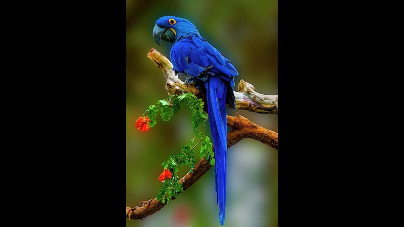 Вебинар от Ольги Базановой Синий попугайчик