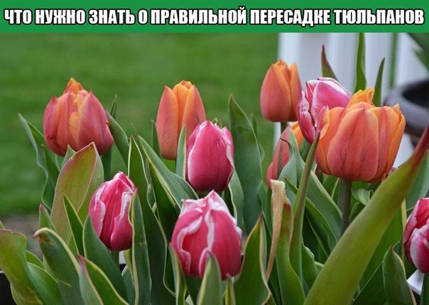 Все, что нужно знать о правильной пересадке тюльпанов
