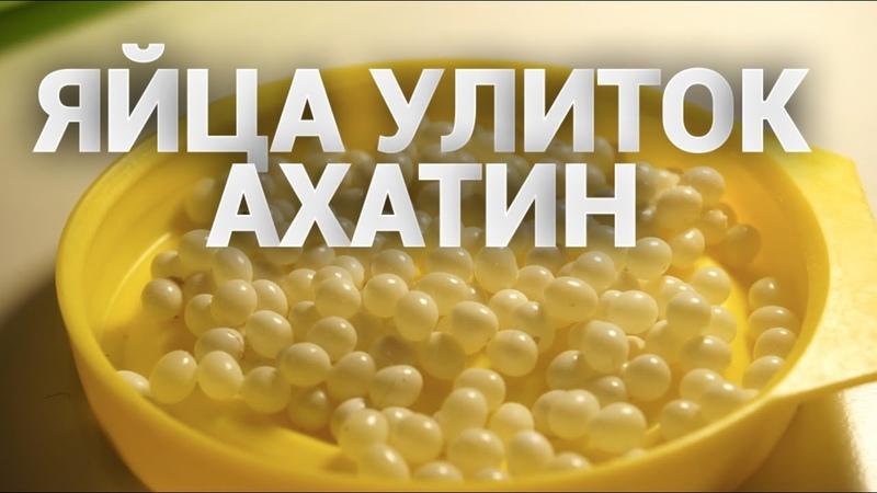 Первая кладка улиток АХАТИН Achatina fulica