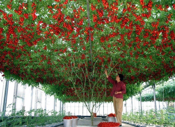 Томатное дерево. Вот это красота!(источник: gofazenda)