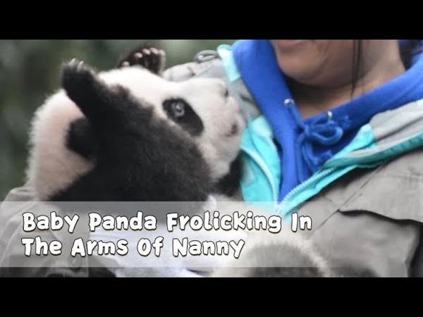 Baby Panda Frolicking In The Arms Of Nanny | iPanda