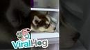 Siberian Husky Pup Wants to Nap on Fridge Shelf || ViralHog