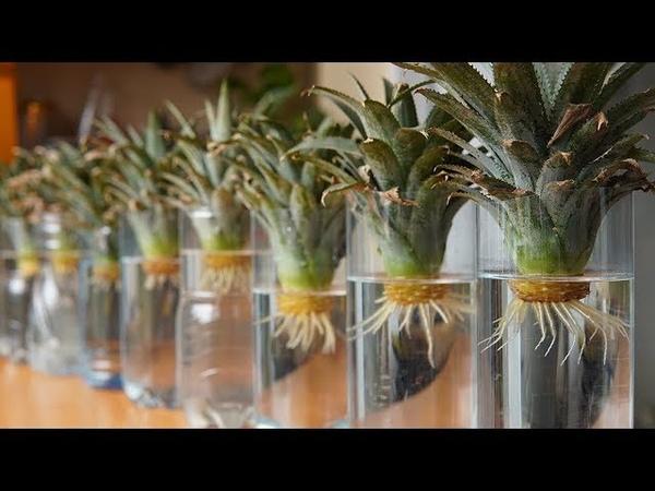 Mẹo Trồng Dứa siêu nhanh từ phần ngọn bỏ đi   Tips Grow Pineapple super fast from the tops off
