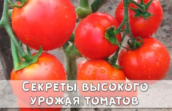 Секреты высокого урожая томатов
