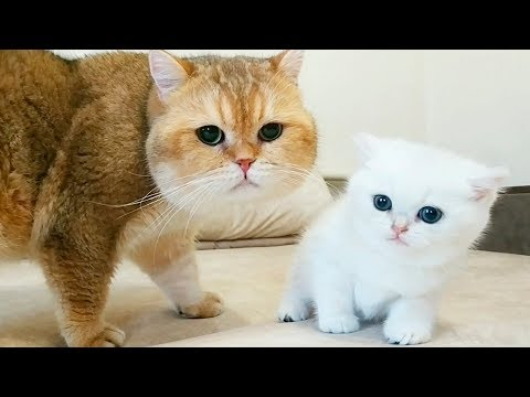 Kitty Coco met her dad William Soo Cute British Shorthair