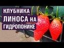Земляника (клубника) ЛИНОСА на гидропонике (26-05-2018)