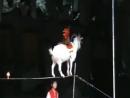 Супер пупер коза