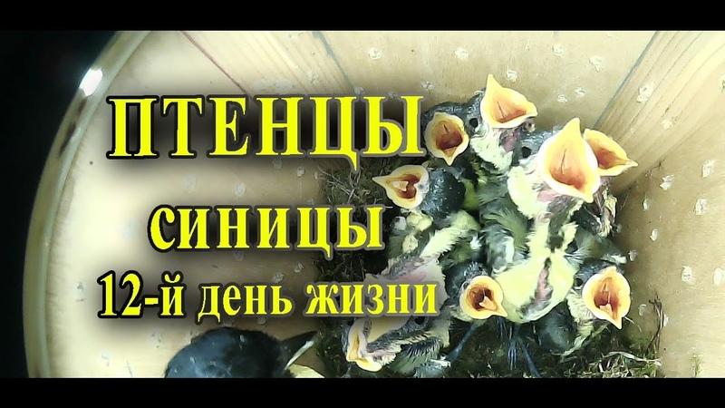 Птенцы синицы в скворечнике 12 дней жизни / Таймлапс наблюдение за птицами