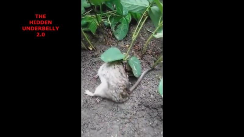 Соевый куст пророс из живой крысы