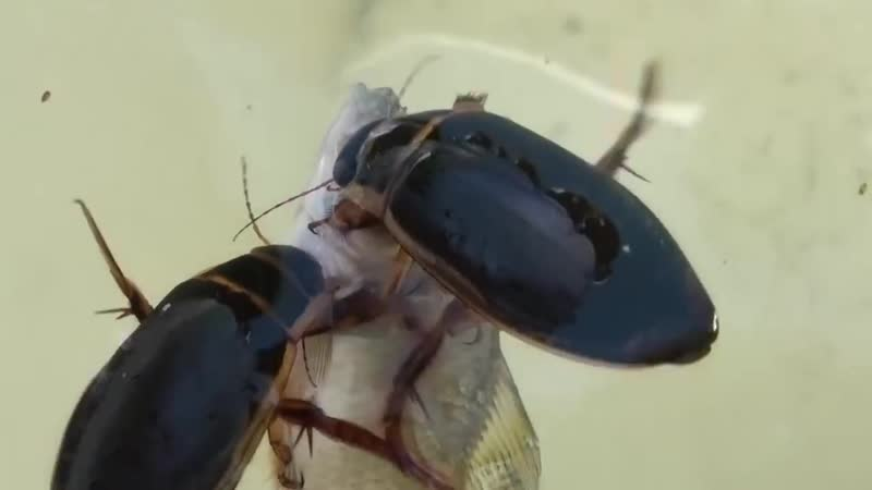 Жуки-плавунцы пожирают рыбу