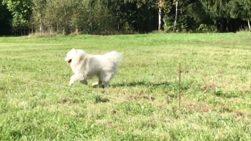 Белый самоед бежит по травке в слоумо