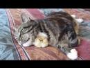 Котик и цыпа
