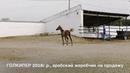 Продажа лошадей конефермы Эквилайн, тел., WhatsApp 79883400208 (ГОЛКИПЕР 2018г.р.)