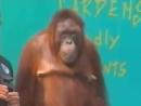 Классные фокусы от обезьяны.