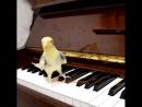 Поющий попугай Корелла