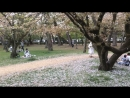 Японский снег - когда опадает сакура