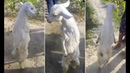 Goat born with paralysed front legs learns how to walk on hind legs