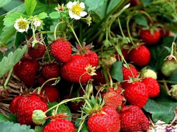 Подкормите клубнику этим средством весной! В 3 раза будет больше урожай!