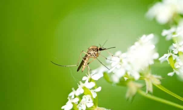Надежные ароматные средства от комаров из восьми вариантов запаха 1 Первое прекрасное средство от комаров это возьмите 100 грамм камфары или обычной валерьяны и подержите над горелкой (пламени