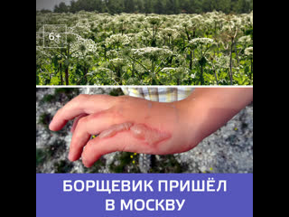 Борщевик в Москве захватил парки  Москва 24