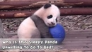 Why Is This Sleepy Panda Unwilling To Go To Bed?| iPanda