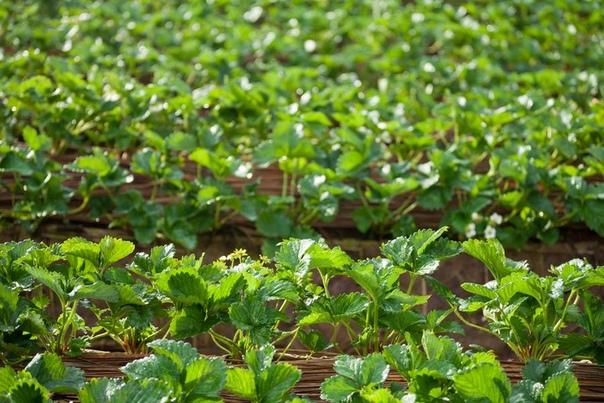 Как обработать клубнику на зиму Важный этап выращивания клубники - подготовка к зимовке. Необходимо начинать обработку кустиков и грядок сразу же после окончания плодоношения. Это поможет