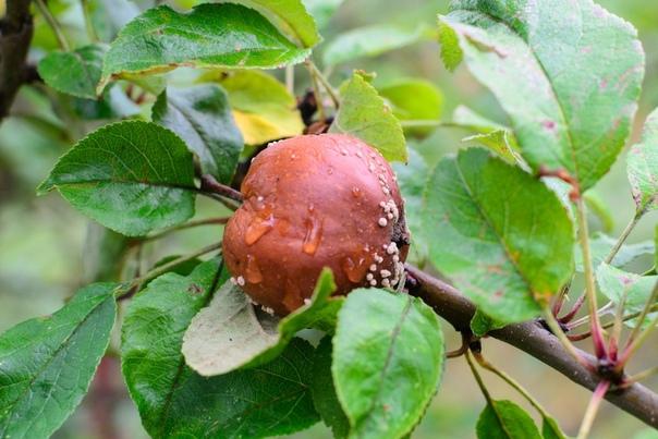 Почему гниют яблоки на ветках