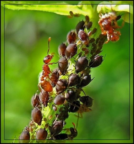 ОБЫЧНАЯ МАНКА ПРОГОНИТ МУРАВЬЕВ С ВАШЕГО УЧАСТКА Есть мнoгo спoсобов избавления от муравьев. Но очень часто они не совсем полезные для наших посадок, либо весьма дорогие, либо требуют