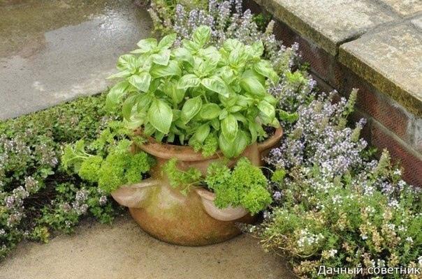 Лучшие растения для любителей пряностей: