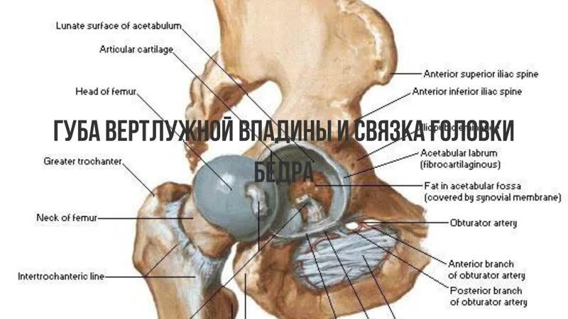 Анатомия тазобедренного сустава. Губа вертлужной впадины и строение головки бедр