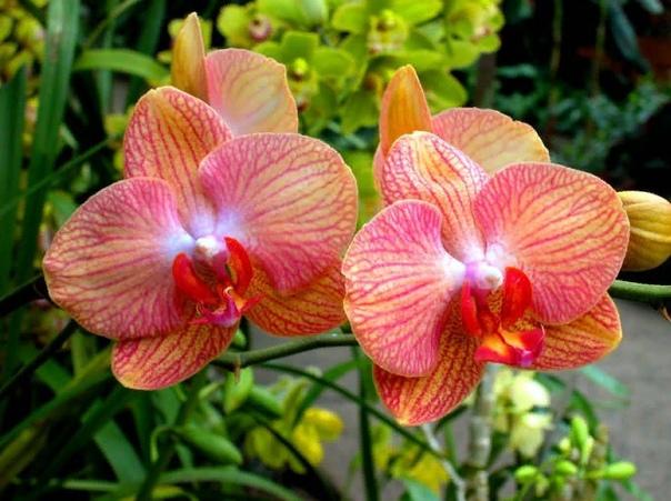 Обрезаем правильно цветонос у орхидеи