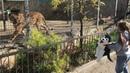 Девочка играет с львицей в Тайгане!