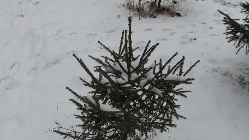 Как правильно пересадить елки из леса!!