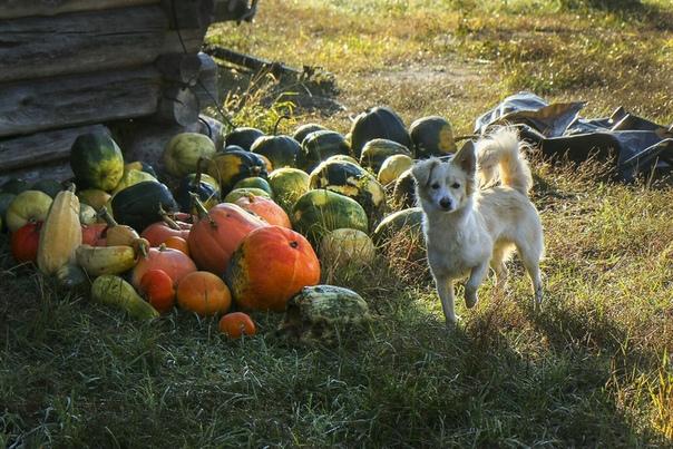 Выращивание тыквы и уход за ней на огороде Титул самого крупного овоща наших огородов без сомнения принадлежит тыкве. В условиях жаркого климата, например в Средней Азии, были выращены