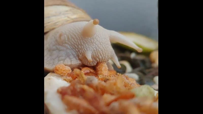 Чудище трапезничать изволит 🐌 улитка улитки ахатина snail snails achatina p ByxkB8Wl5OC