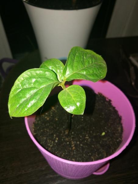 Сначало посадил семена чего то не помню чего ( то что большое на фото) прошло месяцев 5-6 и ничего вообще ничего не всходило. Затем посадил семена домашнего граната, спустя ещё 1.5 месяца в
