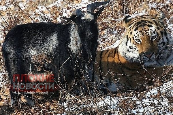 Умер главный козел России. Он водил дружбу с тигром, от него родились козлята Козел Тимур из Приморского сафари-парка, который в 2015 году прославился дружбой с тигром Амуром, умер, об этом